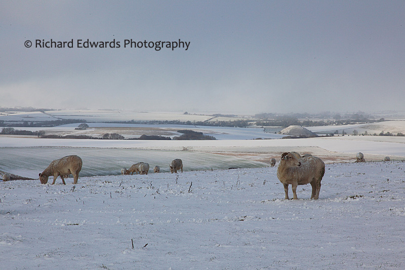 Sheep Grazing on a Snowy Milk Hill